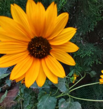 Sunflower image